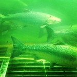 Infobox_vbc_jminter_ballardlocks_salmon